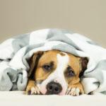 crises d'hypoglycémie des chiens