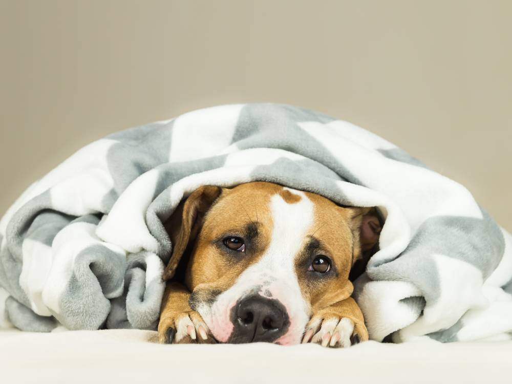 Tout ce qu'il faut savoir sur les crises d'hypoglycémie des chiens