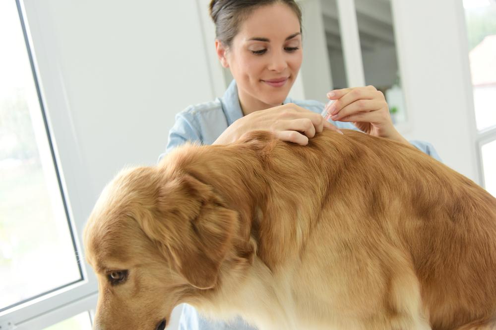 Quelques astuces efficaces pour tuer les puces de mon chien